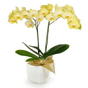 Orquídea 2 Varas pt Amarilla