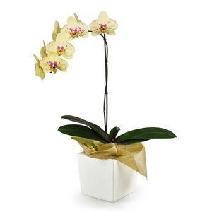 Orquídea 1 Vara pt Seurat