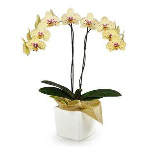 Orquídea 2 Varas pt Seurat