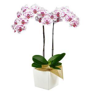 Orquídea 2 Varas pt Bella
