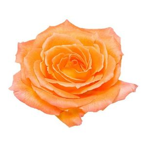 Paquete Rosas