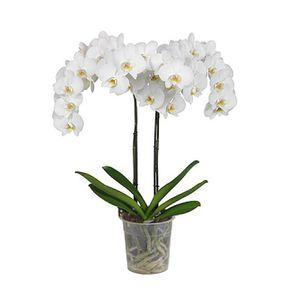 Orquídea 2 Varas Blanca