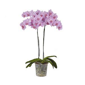 Orquídea 2 Varas Impresionista