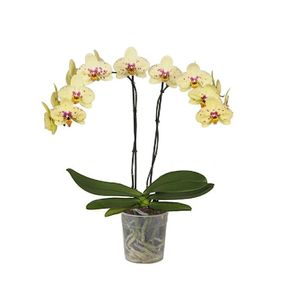Orquídea 2 Varas Seurat