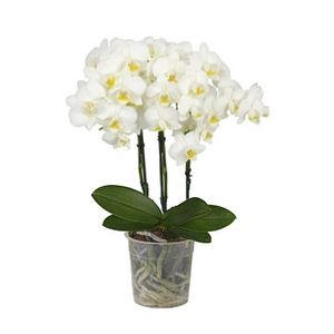 Orquídea 3 Varas Multiflora Blanca