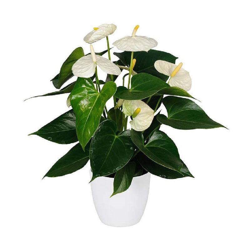 Plantas-Anthurios-6035-1.jpg