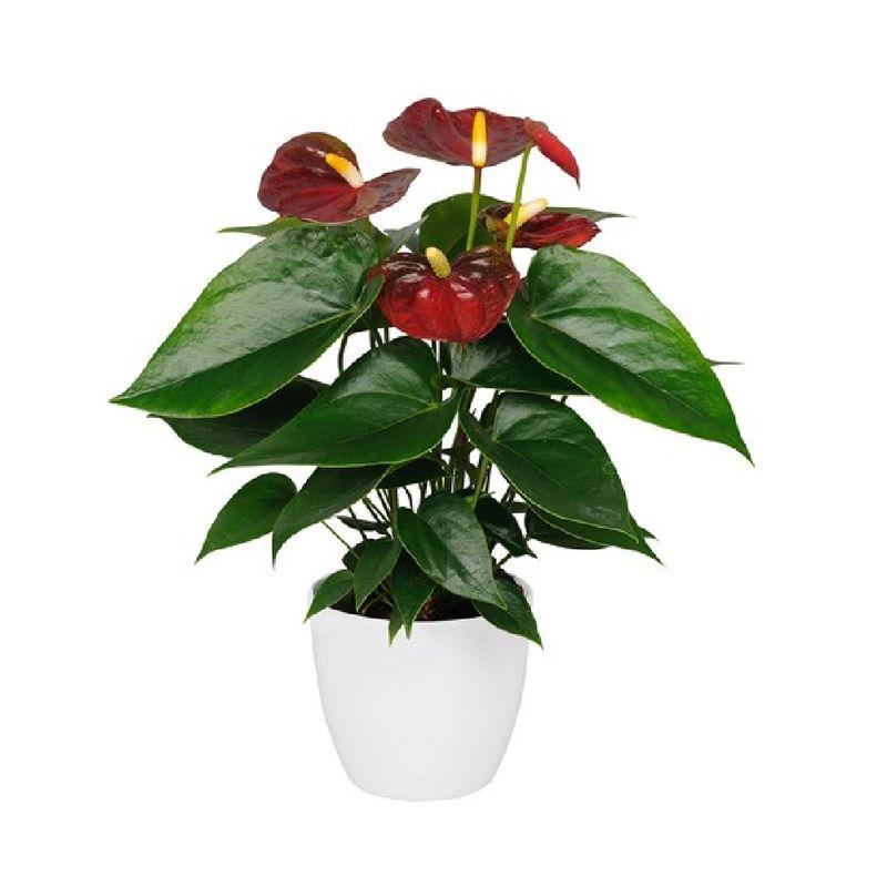 Plantas-Anthurios-6039-1.jpg
